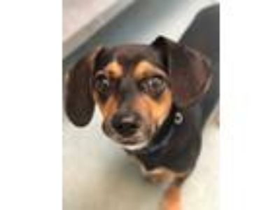 Adopt Mo a Black Dachshund / Mixed dog in Belle Chasse, LA (25575404)