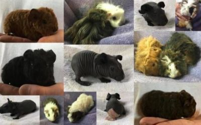 Skinny PIgs & Teddy, Silkie,Peruvian and many other Great Guinea Pigs