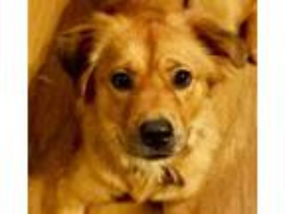 Adopt Minnie2 a Golden Retriever, Spaniel