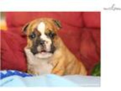 Cheerful English Bulldog: Yankee (M)