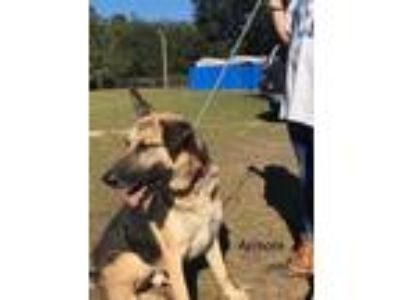 Adopt Armani a Black - with Tan, Yellow or Fawn German Shepherd Dog / Mixed dog