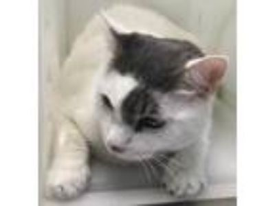 Adopt Morgan a White Domestic Shorthair / Domestic Shorthair / Mixed cat in