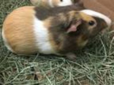 Adopt Billy a Guinea Pig (short coat) small animal in New York, NY (25345515)