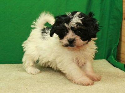 Poogle-Shih-Poo Mix PUPPY FOR SALE ADN-108533 - Shi Poo Female Puppy