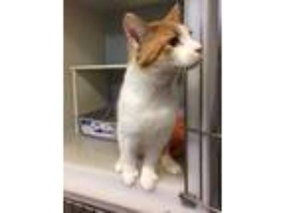 Adopt Benz a Domestic Short Hair
