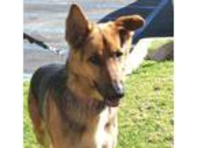 Adopt Colonel a German Shepherd Dog