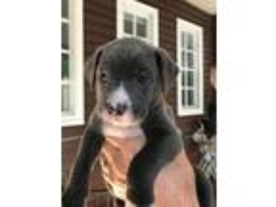 Adopt Justice a Pit Bull Terrier