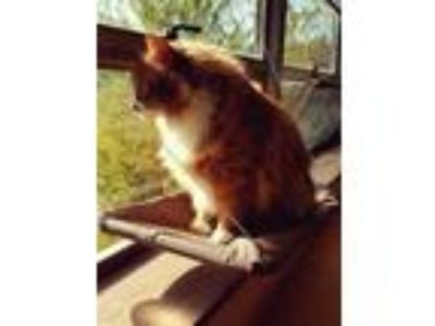Adopt Garfield a Orange or Red (Mostly) Domestic Shorthair / Mixed (short coat)