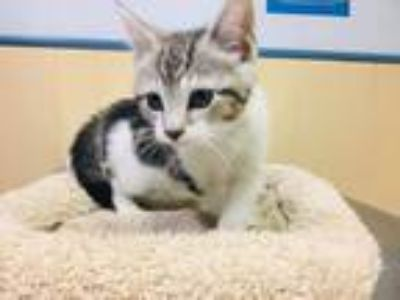 Adopt Cleopatra a Gray, Blue or Silver Tabby Domestic Shorthair (short coat) cat
