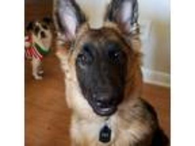 Adopt Scout a Black - with Tan, Yellow or Fawn German Shepherd Dog dog in