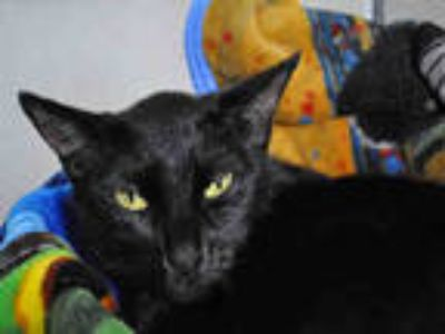 Adopt PANTERA a Black (Mostly) Domestic Shorthair / Mixed (short coat) cat in Ft