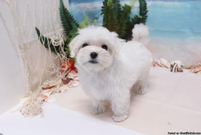 Maltese Puppy - Leila - Female - Needs Re