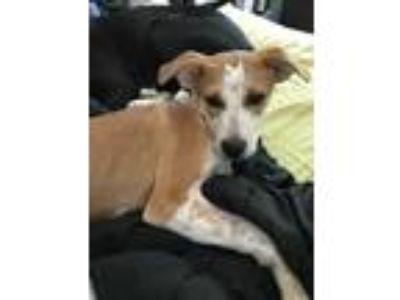 Adopt Boomer a White - with Tan, Yellow or Fawn Hound (Unknown Type) / Mixed dog