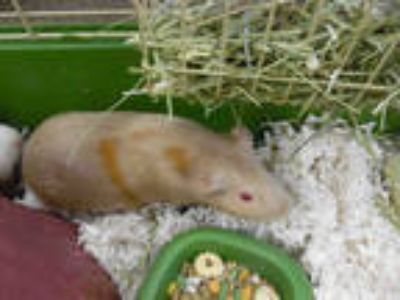 Adopt MELLA a Black Guinea Pig / Mixed small animal in Fort Myers, FL (25556646)