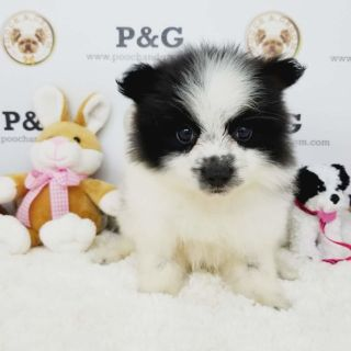 Pomeranian PUPPY FOR SALE ADN-99761 - POMERANIAN JANE FEMALE