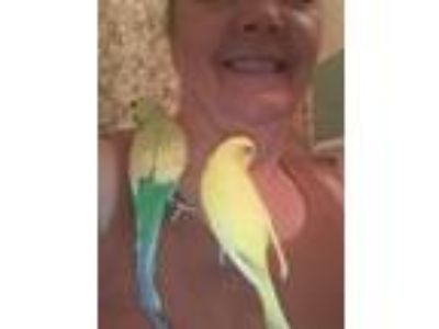 Adopt Parcheesi and Clover a Parakeet (Other)