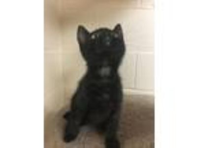 Adopt STORM a All Black Domestic Shorthair (short coat) cat in Troy