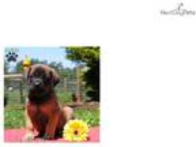 Gina - English Mastiff