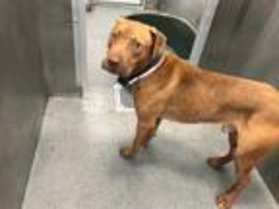 Adopt CHESTER a Brown/Chocolate - with White American Pit Bull Terrier / Mixed