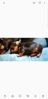 Yorkshire Terrier PUPPY FOR SALE ADN-93265 - Yorkies teacup size
