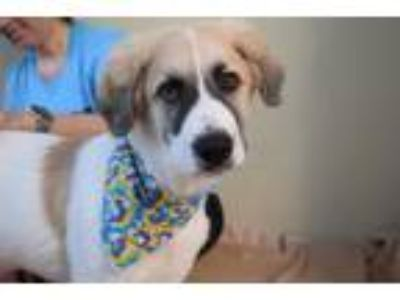 Adopt Hudson a Great Pyrenees