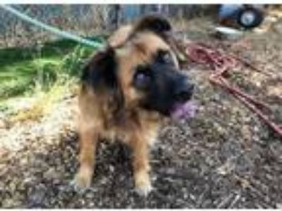 Adopt NELSON a German Shepherd Dog, Chow Chow