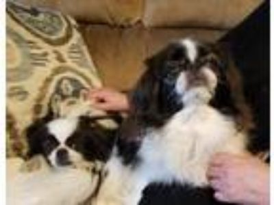Adopt Snuppy and Wuppy a White - with Black Japanese Chin / Mixed dog in