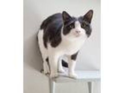 Adopt FAITH a Gray or Blue (Mostly) Domestic Shorthair / Mixed (short coat) cat