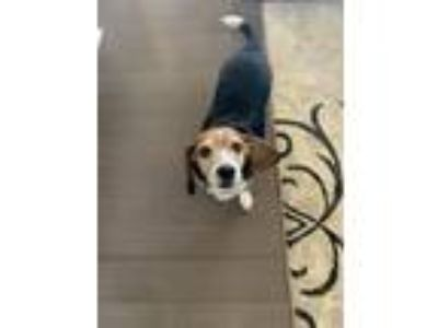 Adopt Oscar a Brown/Chocolate - with White Beagle / Basset Hound dog in Bossier
