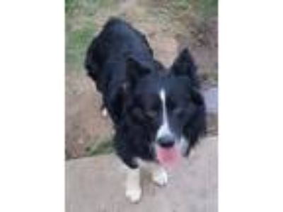 Adopt Bailey a Black - with White Australian Shepherd / Mixed dog in Riverside