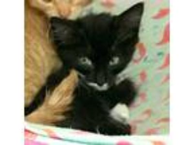 Adopt Neil Pawstrong a Black & White or Tuxedo Domestic Shorthair / Mixed cat in