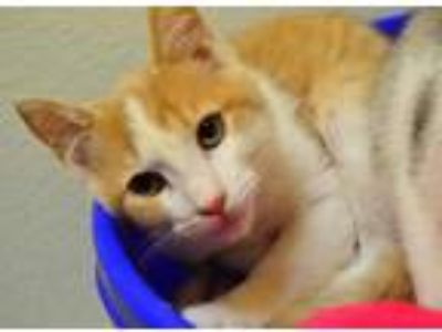 Adopt *YAM a Cream or Ivory (Mostly) Domestic Shorthair / Mixed (short coat) cat