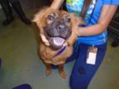 Adopt Nugget a German Shepherd Dog / Chow Chow / Mixed dog in Raleigh