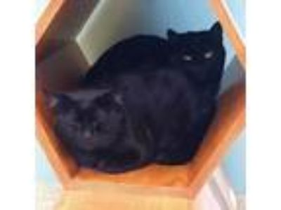 Adopt Toni a All Black Domestic Shorthair / Domestic Shorthair / Mixed cat in