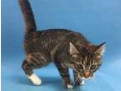 Adopt Little One a All Black Domestic Shorthair / Mixed cat in St.