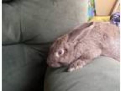 Adopt Connor a Lilac American / Mixed rabbit in Haines City, Port St Lucie
