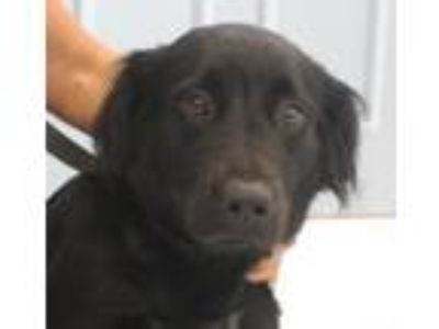 Adopt Magenta a Labrador Retriever, Mixed Breed