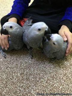 African Grey Congo Baby Parrot