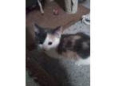 Adopt Cinnamon Cinny a Calico or Dilute Calico Domestic Shorthair / Mixed cat in