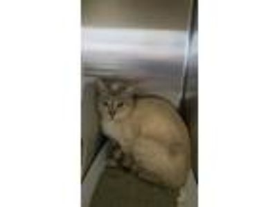 Adopt CHAMPANGE a Domestic Short Hair