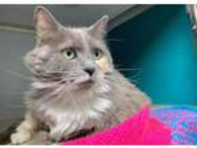 Adopt Aunt Jemima a Gray or Blue Domestic Longhair / Domestic Shorthair / Mixed