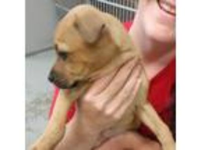 Adopt Affectionate Grace a Boxer / Hound (Unknown Type) / Mixed dog in Potomac