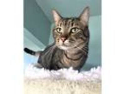 Adopt Nellie (adopt with Leo) a Tabby