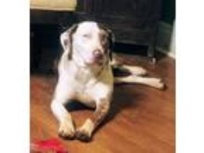 Adopt Gus a White - with Gray or Silver Catahoula Leopard Dog / Mixed dog in