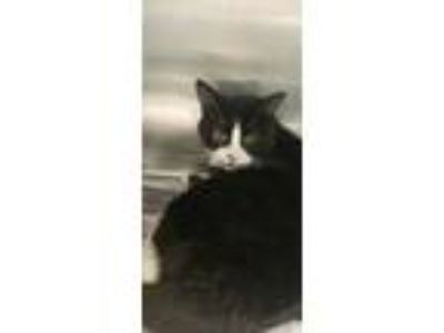 Adopt Gnoochi a White Domestic Shorthair / Domestic Shorthair / Mixed cat in