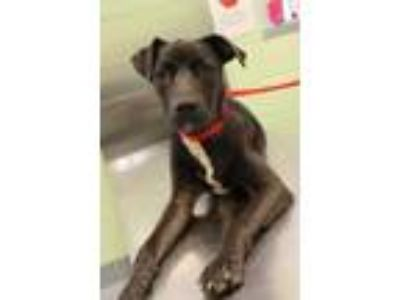Adopt Rousey a Brown/Chocolate Terrier (Unknown Type, Small) / Mixed dog in