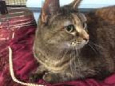 Adopt Jasmine a Tortoiseshell Domestic Shorthair (short coat) cat in Holland