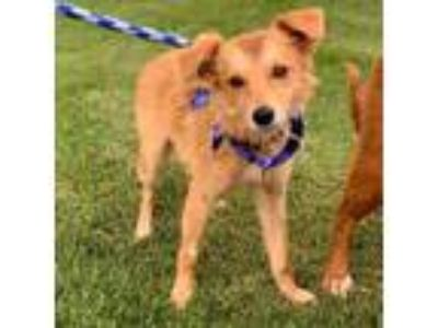 Adopt Buffy Pup - Dawn - Adopted! a Shepherd (Unknown Type) / Collie / Mixed dog