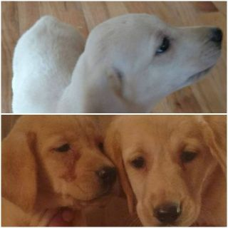 American AKC Yellow Lab Puppies