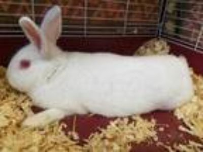 Adopt Edgar a White American / Other/Unknown / Mixed rabbit in Chambersburg